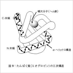 タンパク質(ミオグロビン)の三次構造