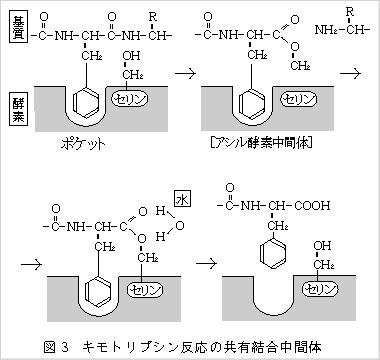 キモトリプシン反応の共有結合中間体